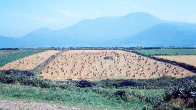 Field of Corn Dingle in 1968